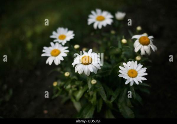 Daisys White Background Stock Photos & Daisys White ...