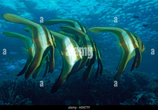Juvenile Batfish Stock Photos Amp Juvenile Batfish Stock