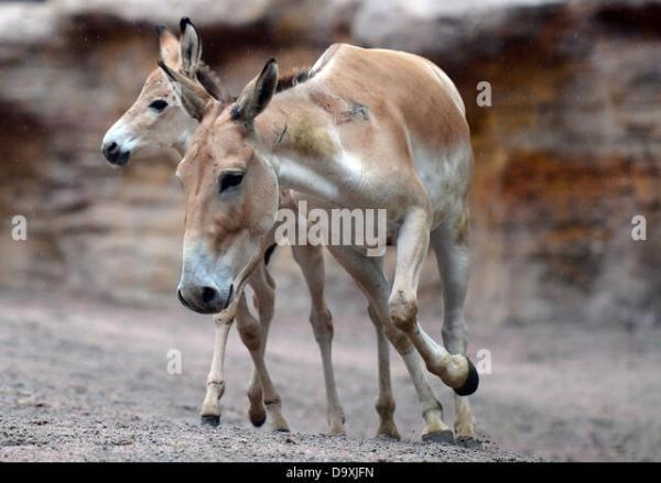 Asian Donkey Equus Hemionus Stock Photos Asian Donkey