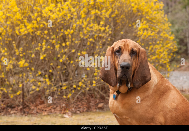 Full Blooded Bloodhound
