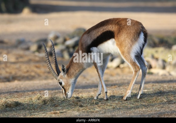 Thomson's Gazelle Eating In A Zoo - Gazella Thomsoni Stock Photo, Picture And Royalty Free Image ...