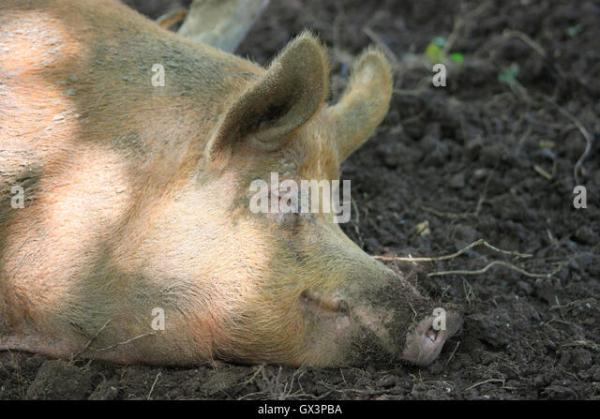 Pig Mud Stock Photos & Pig Mud Stock Images - Alamy