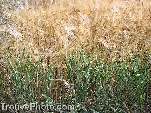 Conseils pour être en bonne santé : évitez le blé et son gluten