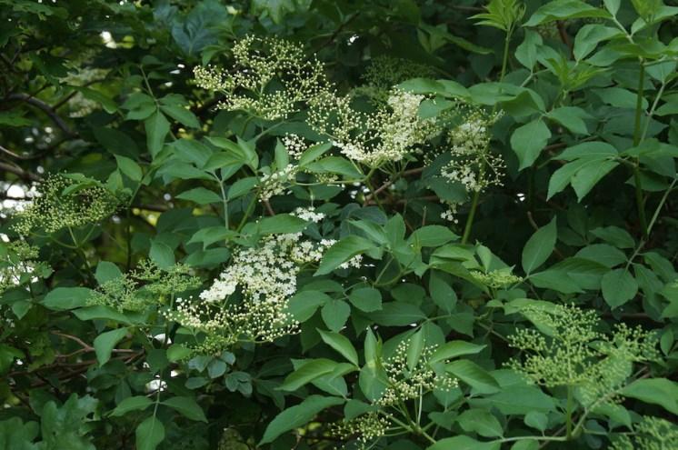 plantes sauvages comestibles-sureau