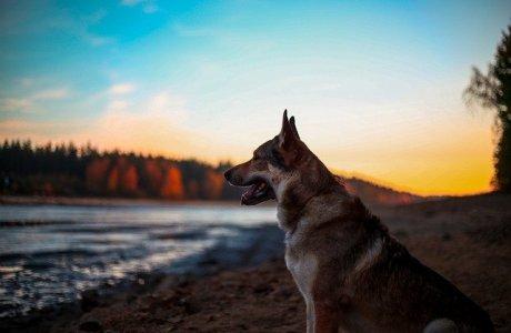 Dog Alsatian Animal Wolf Eyes
