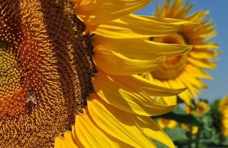Yellow Sunflower Sunflowers Bee  - Laerre / Pixabay