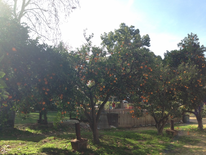 orange picking in la verne
