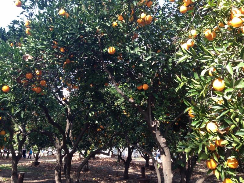 orange picking in lav verne