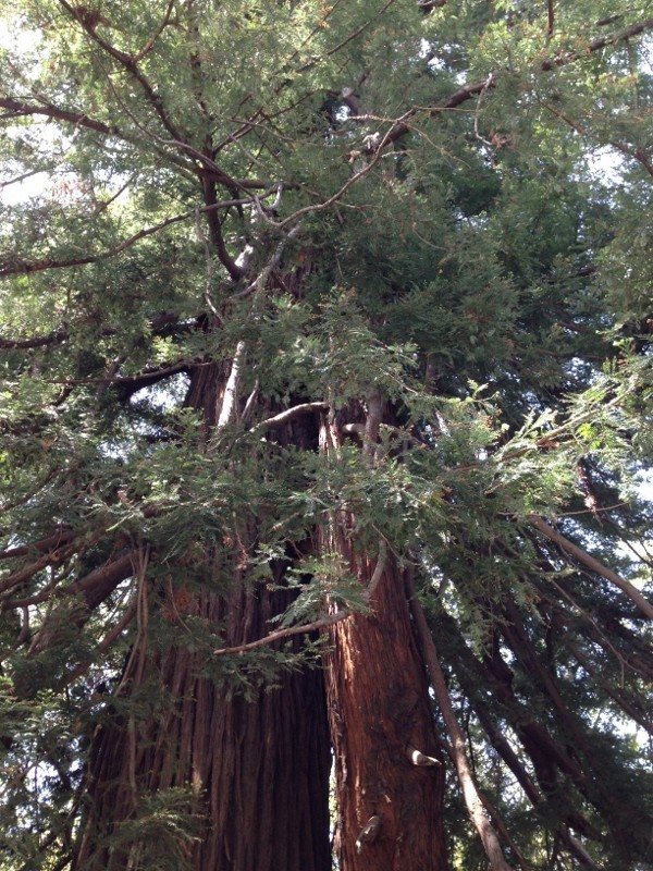 Colonial Tree