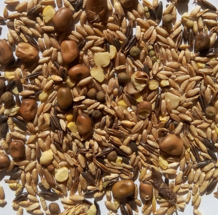 Le méteil est un mélange de seigle et de blé