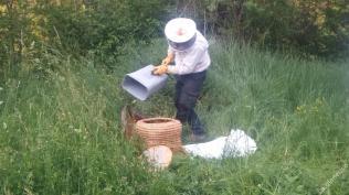 Transvasement dans une ruche en paille après décrochage