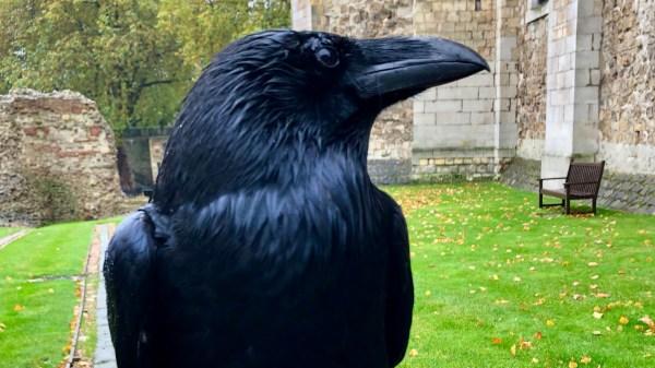 cuervo, Torre de Londres