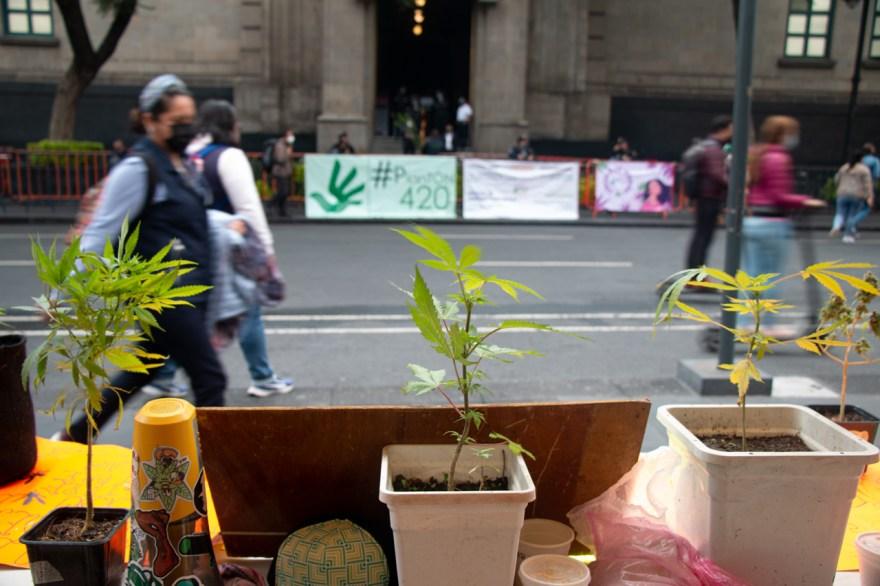Plantón #420 marihuana cannabis legalización