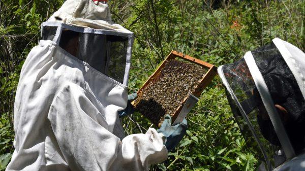 abejas México