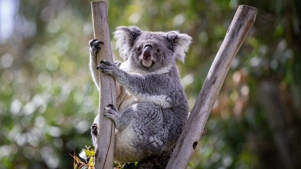 La población de koalas en Australia se redujo un 30% desde 2018