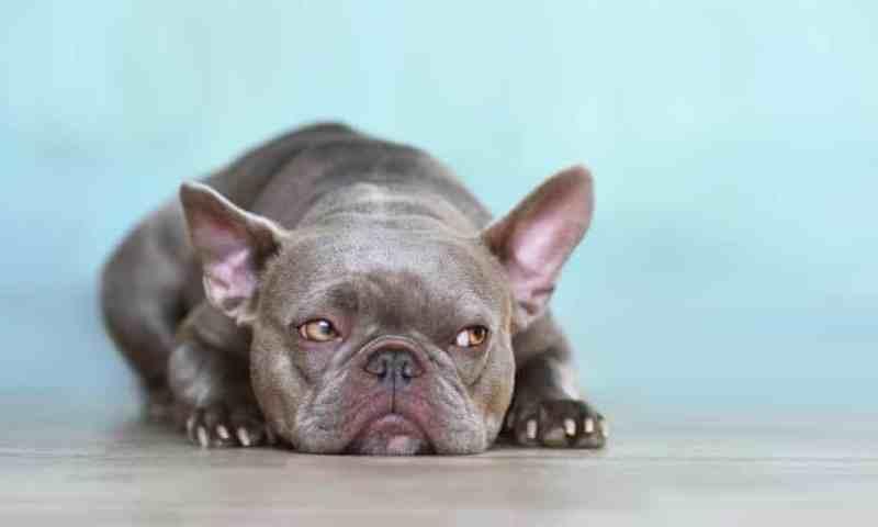 Perros lilas: la nueva y cruel moda que convierte en mercancía a nuestros fieles amigos