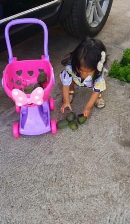 Collecting Avocados