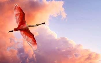 Flamant rose sous les nuages, allant ves le ciel bleu