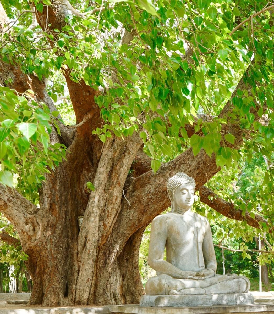 L'albero della Bodhi
