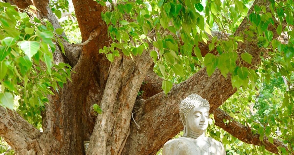 Albero della Bodhi