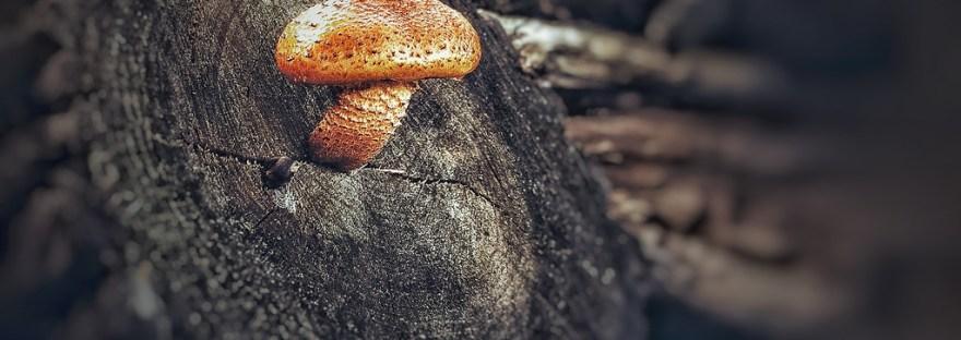 mycothérapie - champignons