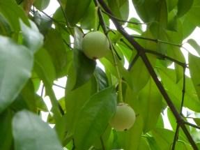 garcinia kola-fruit