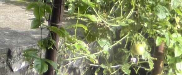 Passiflora edulis, une liane originaire du Brésil