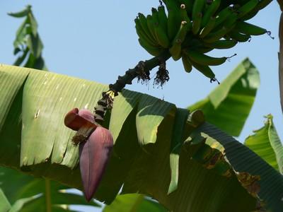 bananier-fleur