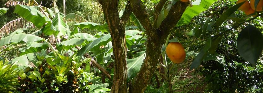 Le jardin créole (jardin bo kay)- plantes médicinales, plantes vivrières et plantes d'ornement