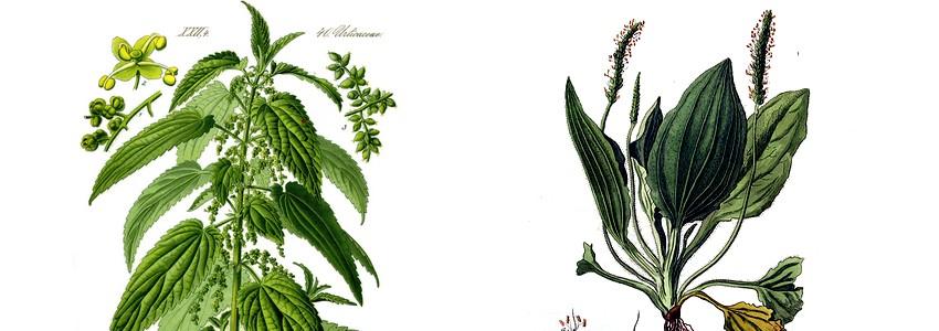 Comment se débarraser d'un urticaire avec l'ortie et le plantain