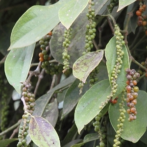 poivre-grains-penja