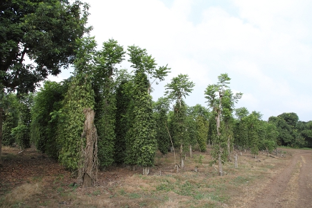 poivre-penja-culture