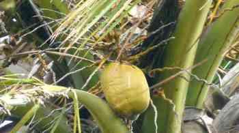 cocotier-noix-coco
