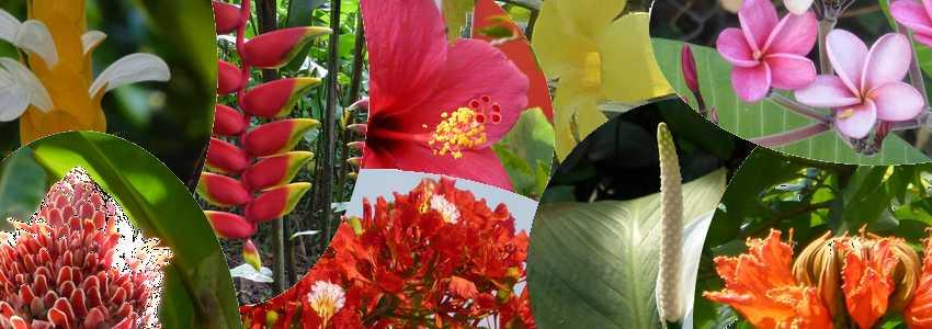 Reconnaître 14 fleurs de Martinique (noms et photos)
