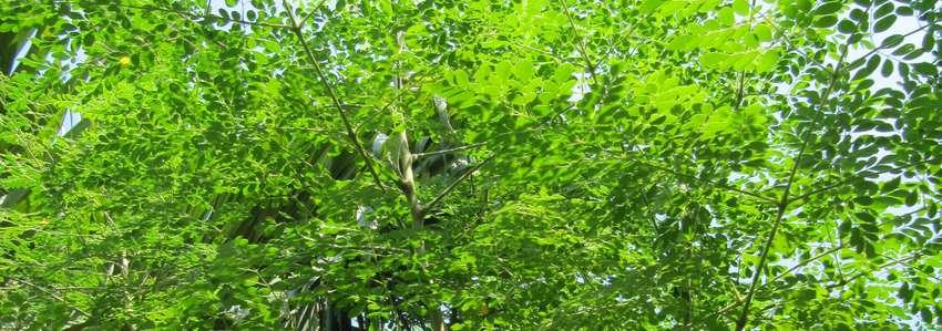 Moringa… out of Africa