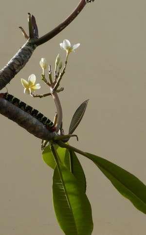 Une chenille rasta en train de déplumer le Plumeria de ma résidence
