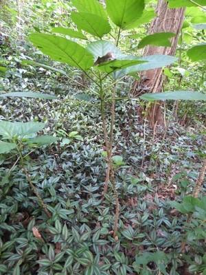 Petite photo en pied de Chichicaste (désolée, on a du mal à la distinguer du fond, on est en pleine forêt tropicale)