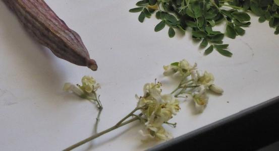 moringa-fleur-fruit-feuilles