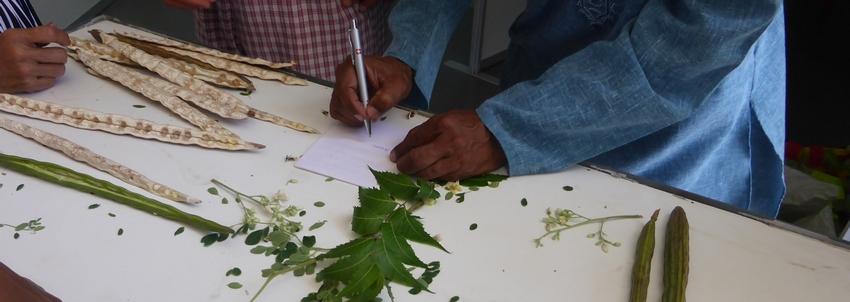 Les plantes médicinales indiennes aux Antilles