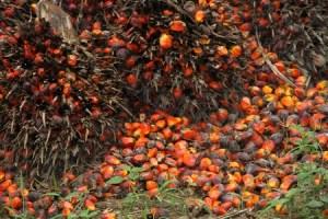 noix-palmier-huile