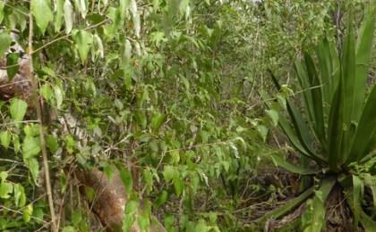 agave-caribaeicola