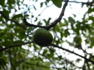 pomme-verte-toxique-mancenillier