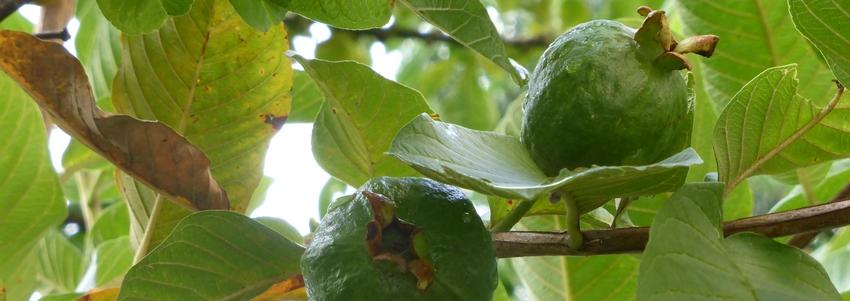 Le goyavier: remède universel contre les diarrhées (Psidium guajava)