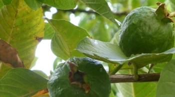 psidium-guajava-fruit-vert