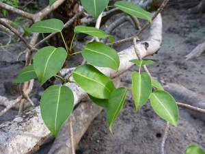 reconnaitre-feuilles-mancenillier