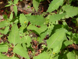 siegsbeckia orientalis