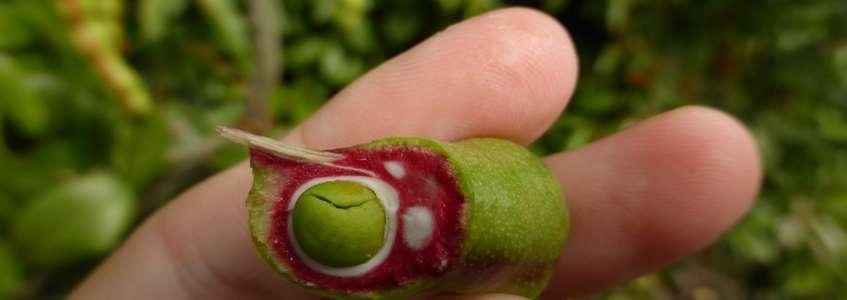 Bois couleuvre (Capparis flexuosa): aux couleurs de l'Italie