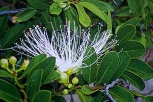 capparis-flexuosa-fleur