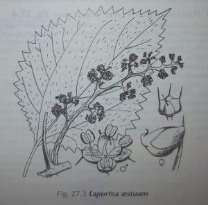 laportea-aestuans-antilles