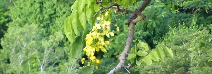 La pluie dorée du canéficier (Cassia fistula)